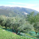 Olive harvest in Sabina