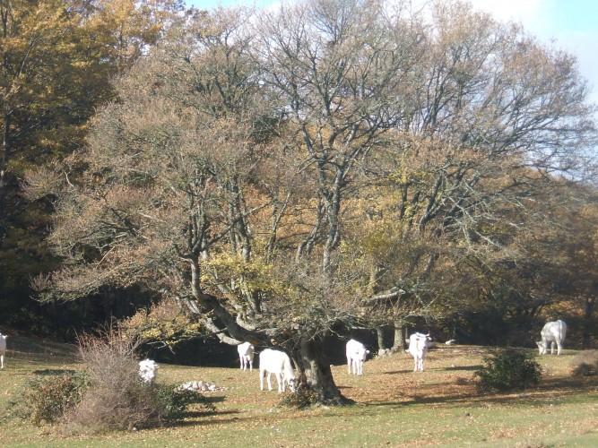 http://www.latorrettabandb.com/bb/wp-content/uploads/2015/11/walking-cows-667x500.jpg