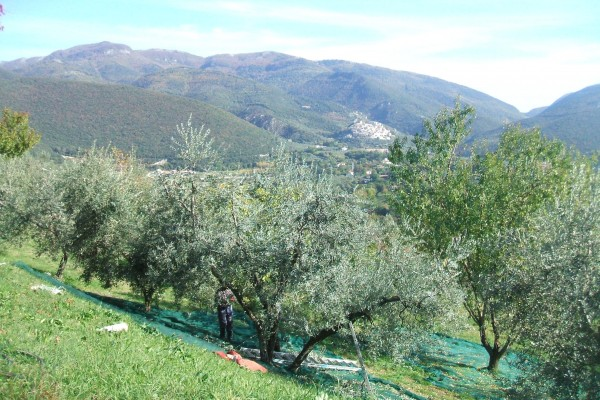 http://www.latorrettabandb.com/bb/wp-content/uploads/2015/12/olive-harvest-in-Sabina-600x400.jpg