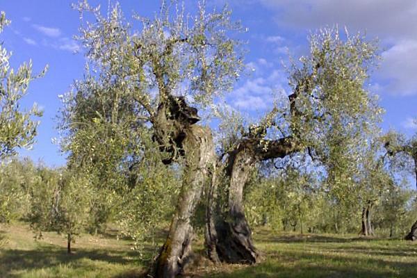 http://www.latorrettabandb.com/bb/wp-content/uploads/2015/12/olive-tree-600x400.jpg